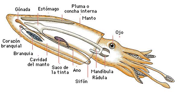 Como pescar calamares: ¿Como ven los cefalópodos?