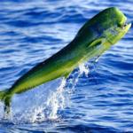 La pesca de la llampuga, el pez de los 1000 colores - Todo para la pesca (2)