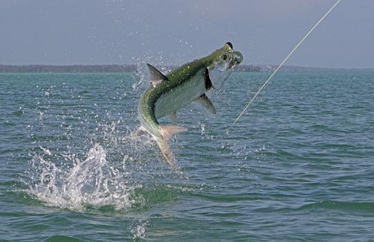 Sábalo o tarpón pesca en mar espesca.es Top 10 de agua salada