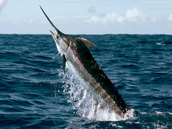 Big game marlin azul en espesca.es