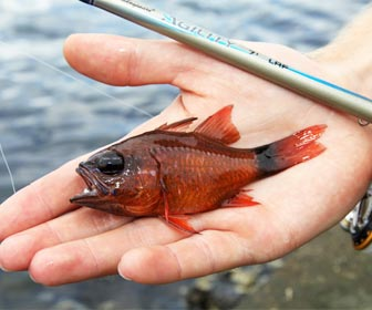 Capturas para rockfishing