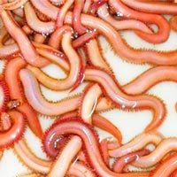 Cebos gusanos americanos