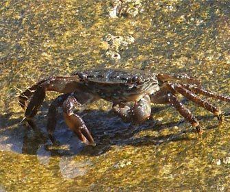 Cebos-rockfishing-cangrejo-corredor