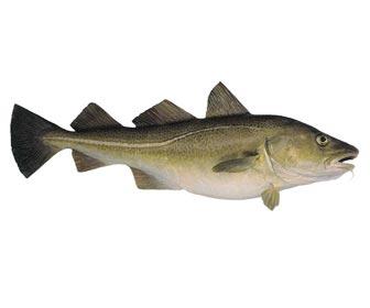 Como pescar bacalaos