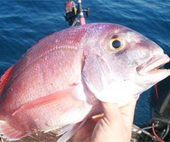 Como pescar pargos pagrus pagrus