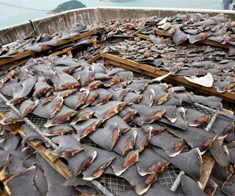 Consecuencias trafico aletas de tiburon