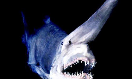 Criatura de mar Tiburón Duende