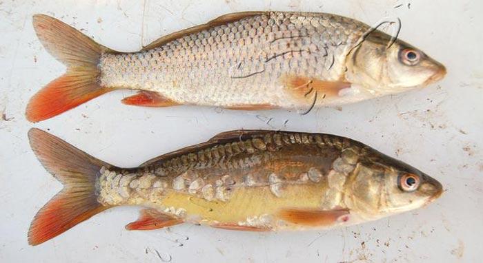 Como pescar carpas grandes y gigantes espesca for Carpa comida