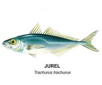 Jurel del Mediterraneo Trachurus Trachurus