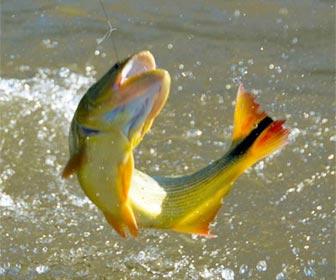 La pesca del dorado en estado puro