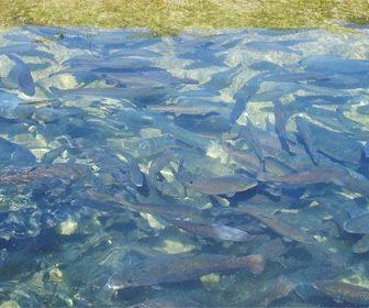 La trucha y su comportamiento en los rios