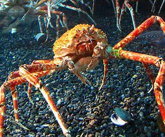 Macrocheira kaempferi, un cangrejo araña japonés