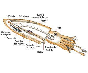 Partes y cuerpo de un calamar