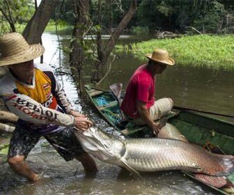 Pesca de pirarucú en Perú