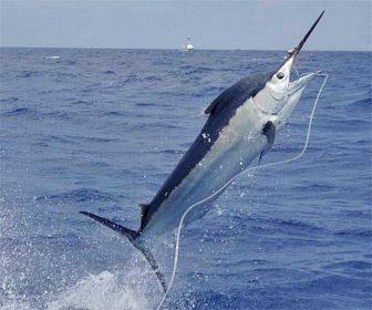 Pesca del Marlin en Canarias