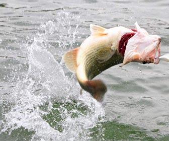 Pesca depredadores al lanzado black bass