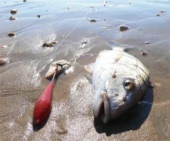 Pesca herreras mabras en costa