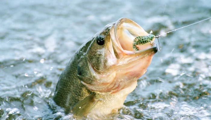 La Lombriz De Vinilo Para La Pesca Del Black Bass Espesca