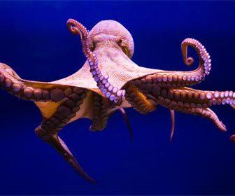 Pulpos Octopus y su pesca