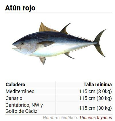 Tallas mínimas de la pesca del atún rojo