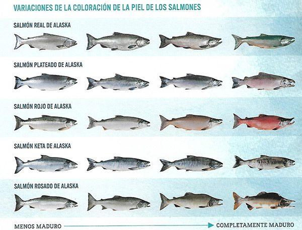 Tipos especies de salmones de Alaska