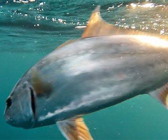 Tipos y pesca de serviolas