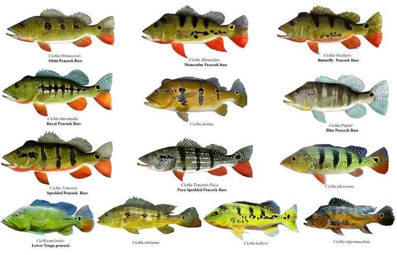 Todas las especies del pez tucunare