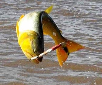 Trucos y tecnicas para pescar dorados