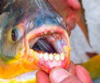 pez pacú